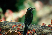 Common grackle, quiscalus quiscula, perched on branch with bittersweet berries, Midwest USA