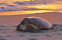 Marine Turtles at Sunset
