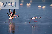 Lesser Flamingos running on water taking to flight. Lake Nakuru National Park, Kenya
