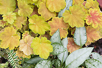 Pulmonaria Cotton Cool &amp; Heuchera Miracle shade plants together