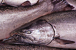 Copper River King Salmon lie in a boat's fish hold, shortly after being caught for delivery to a cannery.