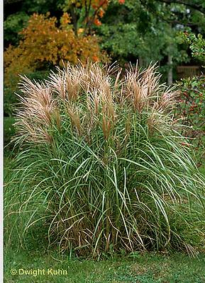HS63-014b  Ornamental Grass.