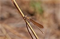 338470002 a wild female  golden-winged dancer argia rhoadsi perches by a small stream near san benito lower rio grande valley texas united states