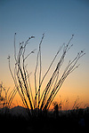 Ocotillo, Fouquieria splendens, after sunset. Saguaro National Park, Arizona