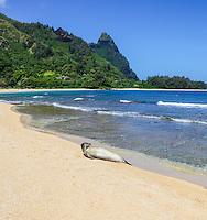 A Hawaiian monk seal rests on a beach in Ha'ena, Kaua'i.