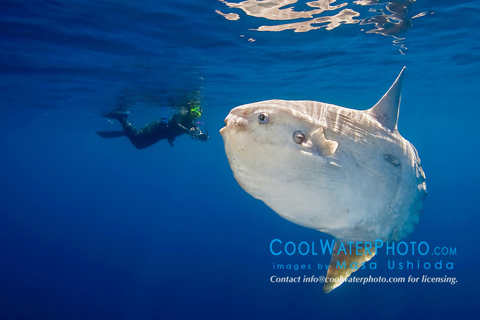 ocean sunfish, Mola mola, and snorkeler with underwater video camera, offshore, San Diego, California, USA, East Paficic Ocean, Model Released - MR#: 000088