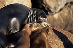 A California sea lion with pups in Monterey Bay, California.