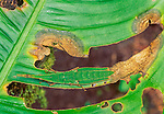 Cryptic grasshopper on heliconia leaf, Napo River region, Peru