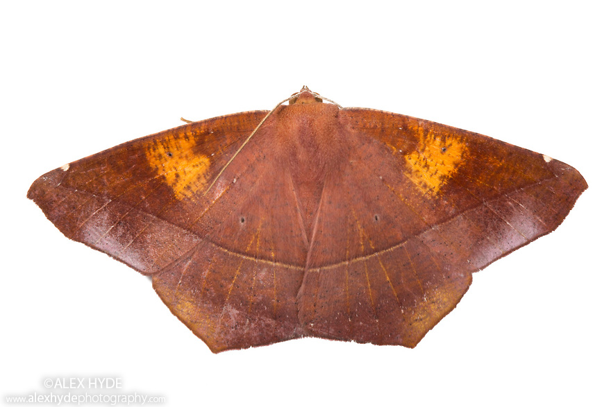 Dead Leaf Moth {Oxyteninae} photographed on a white background in mobile field studio. Cordillera de Talamanca mountain range, Caribbean Slopes, Costa Rica. May.