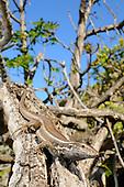 A female Boettger's Lizard (Gallotia caesaris) in habitat, La Gomera, Spain.