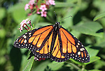 FB-M42  Monarch butterfly on flower.   2X3 Photo magnet