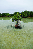 Mangrove, Macaronis, Mentawai Islands, Indonesia