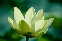 American lotus flower, with delicate petals highlighted in sun