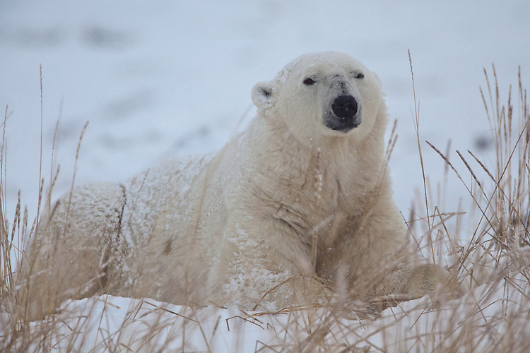 Polar Bear lying in the grass and snow