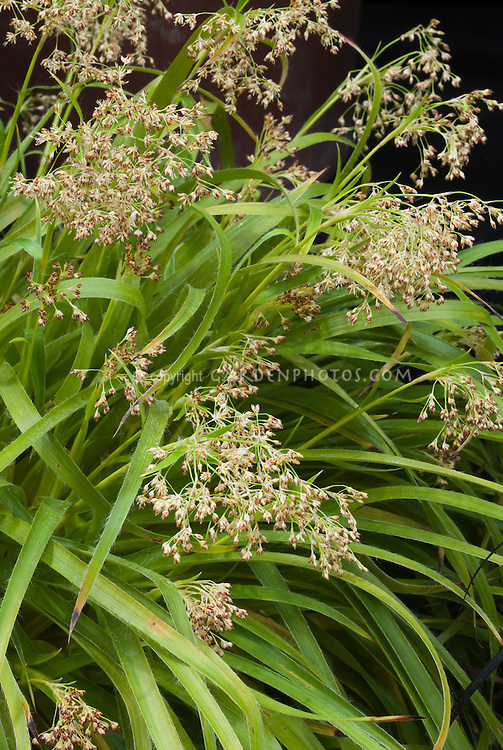Luzula sylvatica 39 hohe tatra 39 plant flower stock for Ornamental grasses that bloom