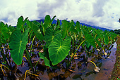 Rich green taro or kalo, a sacred food source of early Polynesians and a staple for native Hawaiians for poi, grows abundantly near Hanalei, on Kauai's north shore. The taro field is called a loi in Hawaiian.