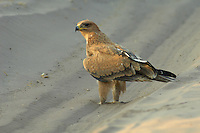 A tawny eagle (aquila rapax) taking a walk on the main road.<br />