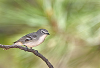 590640002 a wild male plumbeous vireo vireo plumbeous perches on a tree limb on mount lemmon tucson arizona united states