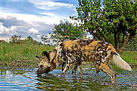 African Wild Dog (Lycaon pictus) drinking at waterhole, Namibia