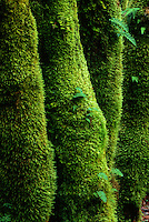 Mosses and Ferns on the trunks of Bigleaf Maples, Columbia River Gorge, Oregon, USA