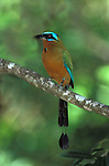 Blue Crowned Motmot, Momotus momota, perched in tree, Trinidad.Trinidad....