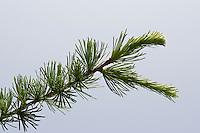 Europäische Lärche, Larix decidua, Nadeln, Nadel, Blatt, Blätter vor blauem Himmel, European Larch