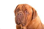 Dog de Bordeaux, portrait, in studio