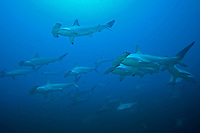 Scalloped Hammerheads by the Scores