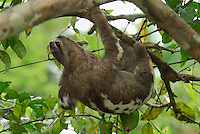 Brown-throated Three-toed Sloth (Bradypus variegatus), Amacayacu National Park, Colombia