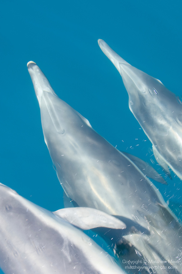 San Clemente Island, Channel Islands, California; three Common Dolphins (Delphinus delphis) swim just under the water's surface in the bow wake