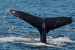 A humpback whale dives revealing its flukes as it goes under at Santa Cruz Island, CA