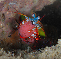 qp2361-D. Peacock Mantis Shrimp (Odontodactylus scyallarus), brooding eggs, holding a mass of thousands. Indonesia, tropical Indo-Pacific Oceans.<br /> Photo Copyright &copy; Brandon Cole. All rights reserved worldwide.  www.brandoncole.com