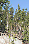 WY: Wyoming, Yellowstone National Park:.Lodgepole pine forest..Photo #: yellow1115..Photo copyright Lee Foster, 510/549-2202, lee@fostertravel.com, www.fostertravel.com..