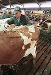 Foto: VidiPhoto<br /> <br /> DODEWAARD - Bij de eerste melkveehouders is de koeienkapsalon weer geopend. Melkveehouder Jan-Willem van Rooijen (foto) scheert woensdag samen met zijn hulp Corn&eacute; van Mourik de eerste koeien. Omdat de dieren vanaf zaterdag de hele winter op stal staan, moet hun warme jas uit. Bovendien is het korte kapsel een stuk hygi&euml;nischer dan een harig model. Mooi geschoren is niet lelijk. Terwijl de meeste boeren een koeienkapper inhuren, doet Van Rooijen het liever zelf. &quot;Het is leuk werk en bovendien bespaar ik hiermee zo'n 1000 euro.&quot; Van Rooijen heeft 140 melkoeien en het laten scheren kost ongeveer 7 euro per koe. Het scheren van de hele veestapel kost ongeveer vier werkdagen. Daarom doen Jan-Willem en Corn&eacute; dat tussen de boerenbedrijven door.