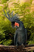 Goliath or Black Palm Cockatoo (Probosciger aterrimus)