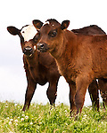 Beautiful Cows and Calves