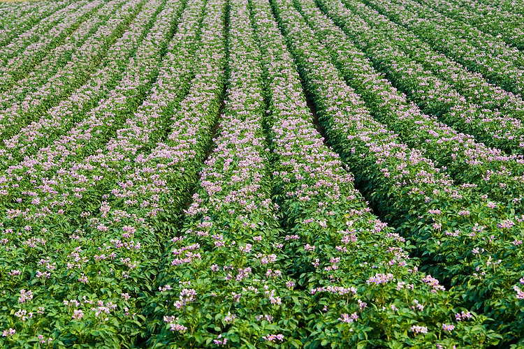 Potato crop grown for supermarkets, near Holkham, United Kingdom