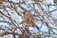 Sociable Weaver, Sesriem, Namibia