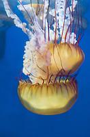 435250003 pacific sea nettle chrysaora fuscescens swim and float in their aquarium at the long beach aquarium in long beach california