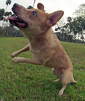 Layla, an Australian Cattle Dog, or Red Heeler, plays with her frisbee near Daytona Beach, FL.  (Photo by Brian Cleary/www.bcpix.com)