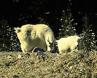 Mountain Goats in Canada Rockies
