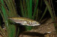 Dreistacheliger Stichling, Gasterosteus aculeatus, Meerwasserform zwischen Seegras, marin, three-spined stickleback