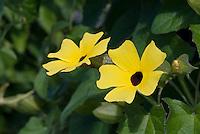Thunbergia alata 'Sunny Yellow Star' climbing annual clock vine
