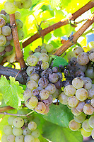 Bunches of ripe grapes. Sauvignon Blanc. Chateau Guiraud, Sauternes, Bordeaux, France
