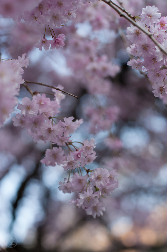 Dusk settles blue behind the pink blossoms of a weeping cherry tree, while the final rays of the sun illuminate trees on the higher slopes, Nagano, Japan.