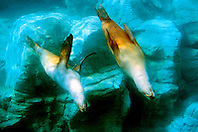 California sea lions (c), .Zalophus californianus, .(E. Pacific).