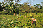 cleaning slope for newly planted Guama Plants.above Sarstoon Creek,  GuiatemalaA demonstration Guama Parcel in Thomas Moran Project, near Livingston, Guatemala.   Guama is a large, fast growing species that when sown in rows, between basic grains, spices, and cacao creates shade that eliminates weeds, maintains humidity, fixes nitrogen in the soil, and provides wood that can be used as fuel. By improving soil conditions, it serves to increase crop yields significantly and reduce the search for new areas to cultivate. Moreover, guama increases ground cover and is welcoming to diverse species of birds and other wild animals. Villagers with machetes clearing overgrowth around young guama plants near Sarstoon Creek, Guatemala.    Guama is a large, fast growing species that when sown in rows, between basic grains, spices, and cacao creates shade that eliminates weeds, maintains humidity, fixes nitrogen in the soil, and provides wood that can be used as fuel. By improving soil conditions, it serves to increase crop yields significantly and reduce the search for new areas to cultivate. Moreover, guama increases ground cover and is welcoming to diverse species of birds and other wild animals.
