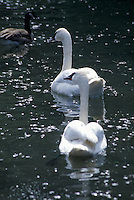 Trumpeter Swan Couple