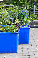Edible container garden made from blue plastic recycing boxes.