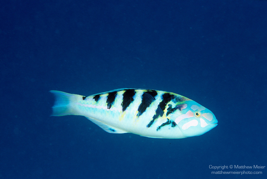 Moorea, French Polynesia; Sixbar Wrasse (Thalassoma hardwicke), form groups, found in coastal, lagoon and outer reefs to 15 meters, in Indo-Pacific Ocean region, E. Africa to Line Island, Austral and Tuamotu Island in French Polynesia. S. Japan to E. Australia, to 20 cm , Copyright © Matthew Meier, matthewmeierphoto.com All Rights Reserved